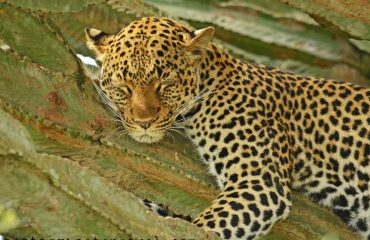 Leopard, Queen Elizabeth