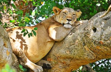 Tree climbing Lion, Ishasha